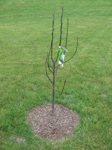 Picture Of A Dead Flowering Pear Tree That Was Purchased From The Home Depot And Covered Under 1 Year Guarantee